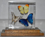 Womens Butterfly - 'Her Majesty's' Perpetual Trophy